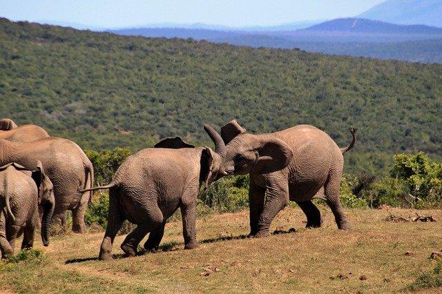 sloni v Africe